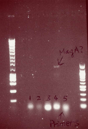 Gel showing possible MagA PCR product at around 1.3kb from colony 4