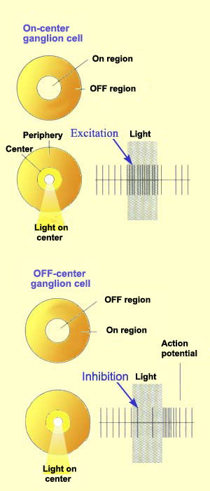Schematic diagram of on-center and off-center ganglion cells. On-center ganglion cells are excited when stimulated by light on the center and inhibited when stimulated in the surround. Off-center ganglion cells are excited when stimulated by light in the surround and inhibited when stimulated on the center. Source: Hubel and Wiesel.