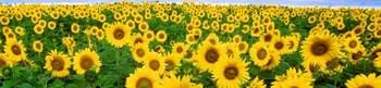 File:Sunflowers3.JPG