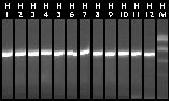 File:10-11 Colony PCR 37-48.jpg