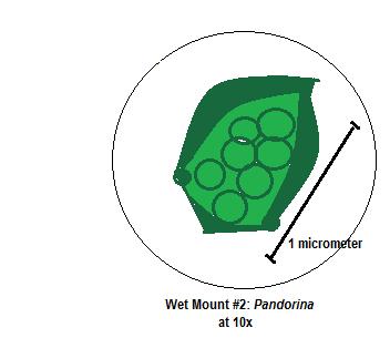 File:Pandorina.png