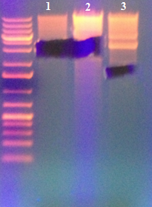 File:Gel3 5 2013 cutout.jpg