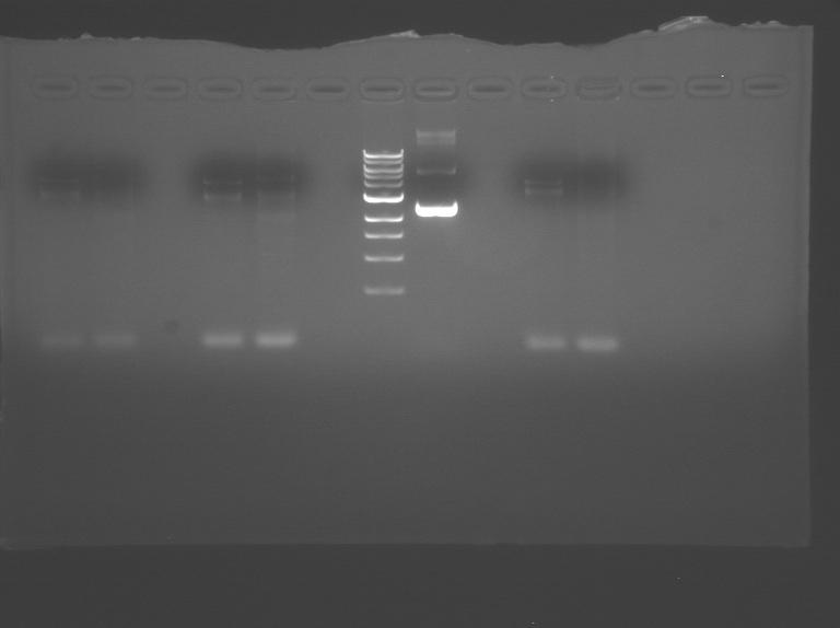 File:S10 M2D3 WF gel-2.jpg
