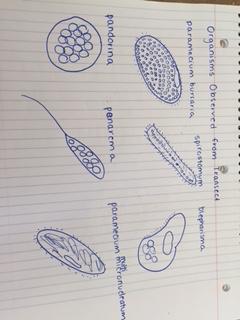 File:Organism Drawings.jpg