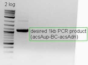 Image:Pflegerlab 2012-05-23 10hr 34min acsA;;BC construct post-amplification.jpg