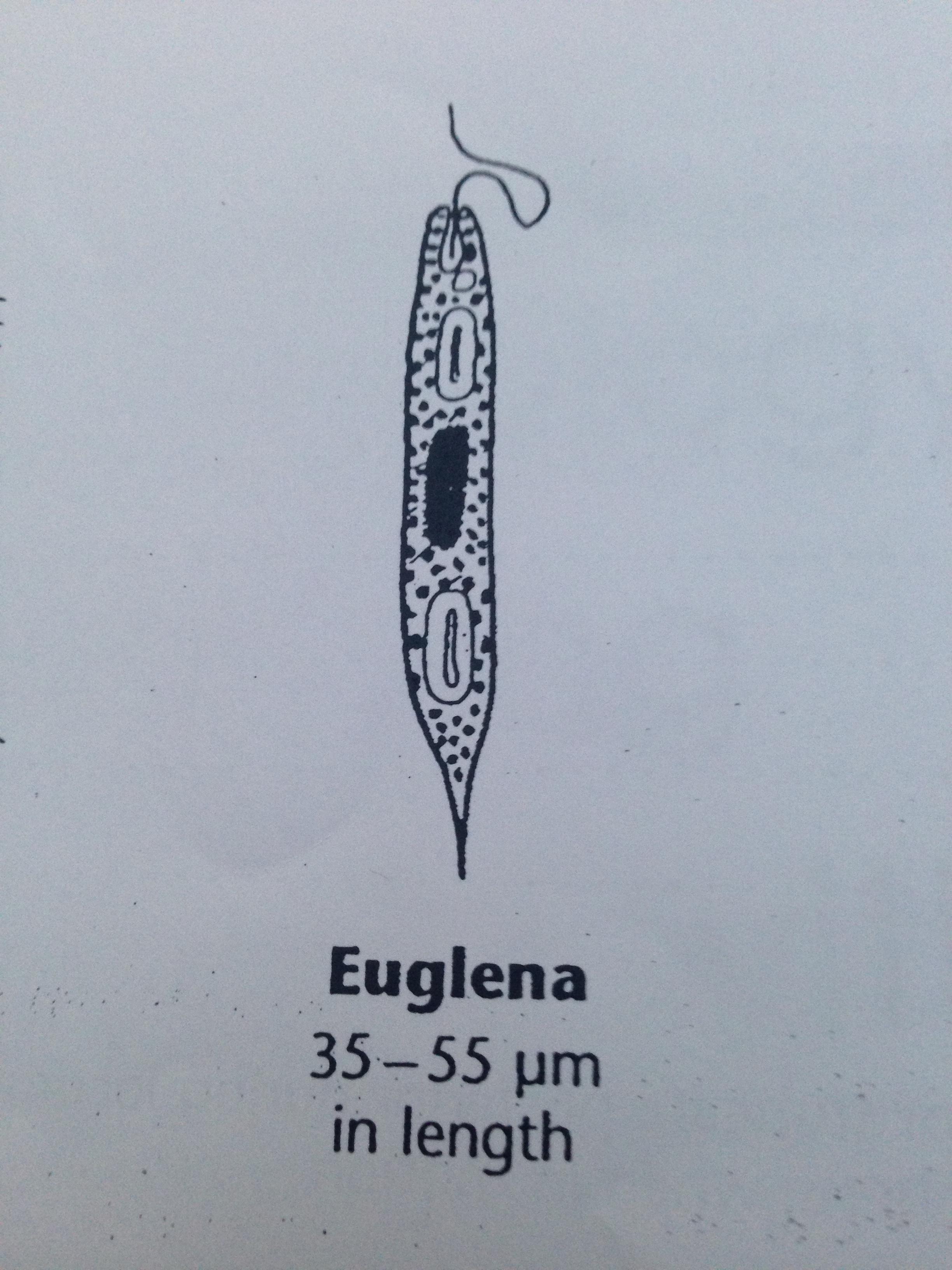 EuglenaDEF.JPG
