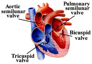 Anterior view of the heart showing the locations of the four heart valves [2]