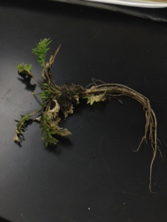 File:Lab 4, plant 3.jpg