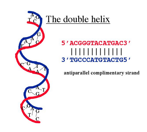 File:DoubleHelix.PNG