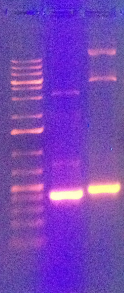 Results of the PCR product digests are shown, with H2B on the left and LOV on the right.