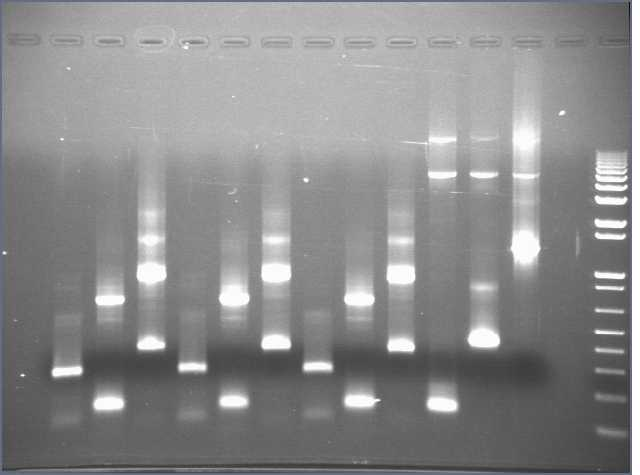 7-17 PCR gel PT.jpg