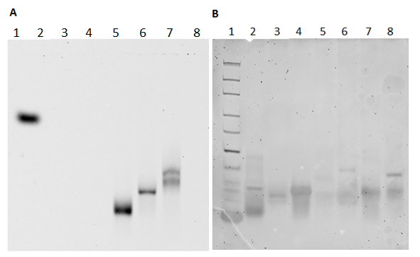 Fig. 43. Native PAGE gel showing the annealing of modified DNA strands. A: Gel scanned for the photosensitizer. B: The gel after staining with ethidium bromide. 1) DNA ladder, 2) 5' unmodified DNA, 3) 5' cholesterol DNA design II, 4), 3' cholesterol DNA design II, 5) 3' In(PPa)Cl DNA, 6) 3' In(PPa)Cl DNA + 5' cholesterol DNA design II, 7) 3' In(PPa)Cl DNA + 3' cholesterol DNA design II, 8) 3' amine unmodified DNA + 5' amine unmodified DNA.