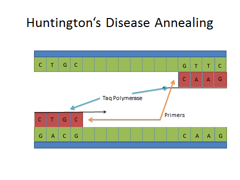 Image:Huntington's Annealing DNA.jpg