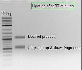 File:Pflegerlab 2012-05-22 13hr 29min acsA up+dn BC ligation.jpg