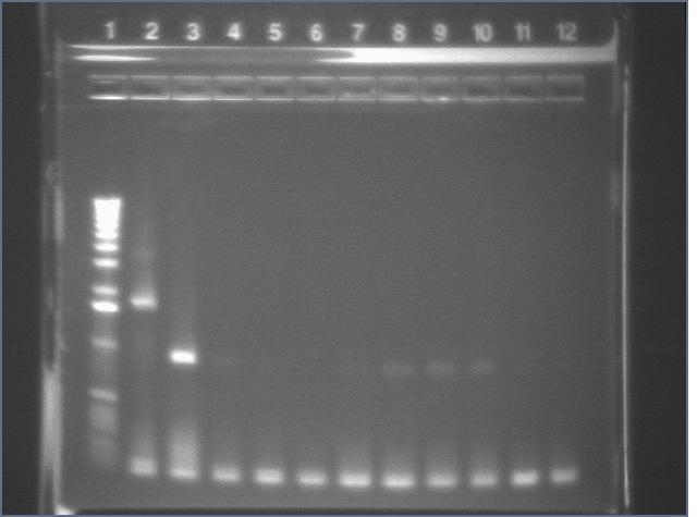 8-13-08 colonypcr1 al.jpg