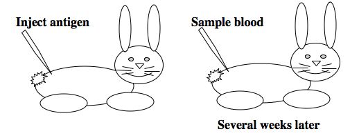 generating polyclonal antibodies