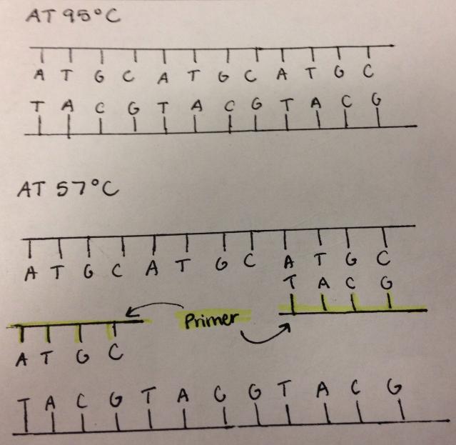 PCR 11.png