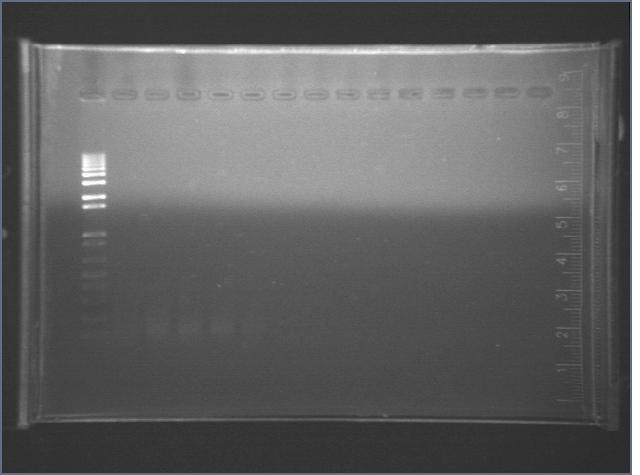 File:2006-8-2 mutagenic PCR.jpg