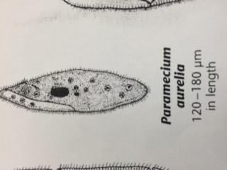 File:Paramecium-Alison.jpg