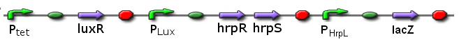 File:ICGEMS sys Ptet luxR Plux hrpR-hrpS-lacZ.PNG