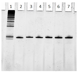 Fig. S3. 1) 25 bp DNA ladder, 2) 6 µL labeled W376, 3) 1 pmol W376, 4) 1.5 pmol W376, 5) pmol W376, 6) 2.5 pmol W376,  7) pmol W376.