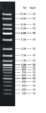 File:DNA ladder.png