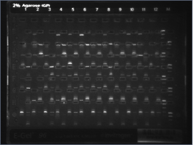 File:8-20 Colony PCR 2 MXHTA.jpg