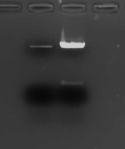 on the left is 0.6 ul (out of 30 ul elution) of O/N, gel extracted backbone from August 10; on the right is 1 ul (out of 50 ul digest reaction) of 1 hr digest from today, not PCR cleaned yet