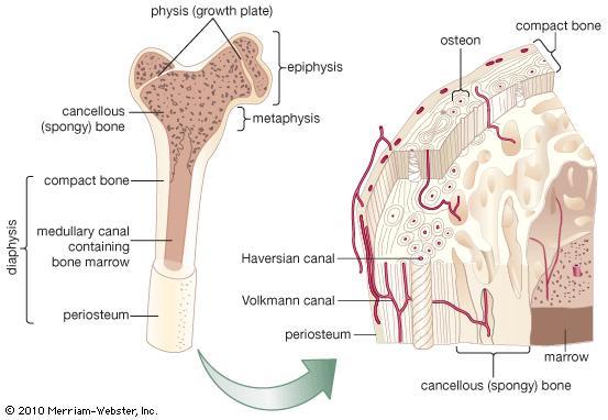 File:Bone anatomy.jpg