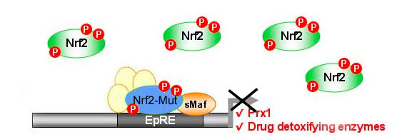"""Mutant Nrf2 is competitively inhibiting WT-Nrf2 from binding to promoter"""