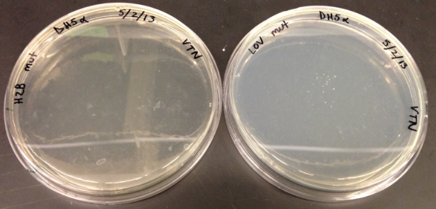 The next day, no colonies were seen for the H2B mutagenesis but there were about 20 colonies for the LOV mutagenesis.