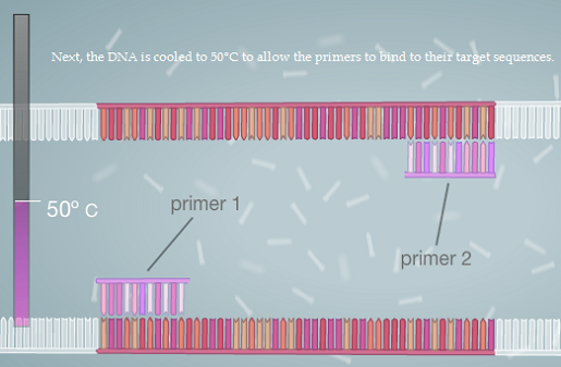 PCR 2.png