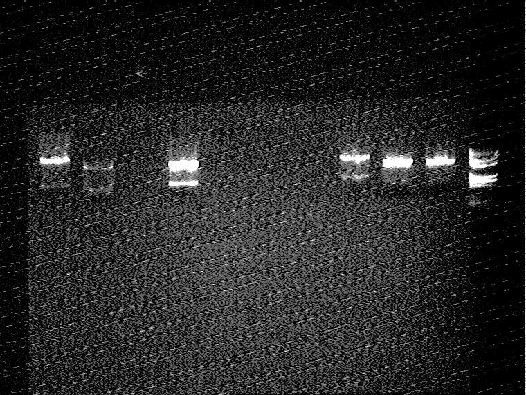 File:2007-7-22Ligation(EGFP+pSB3k3)-1 EcoR1 Pst1 and ligation(EGFP+pSB3k3)-2 EcoR1 Pst1.jpg