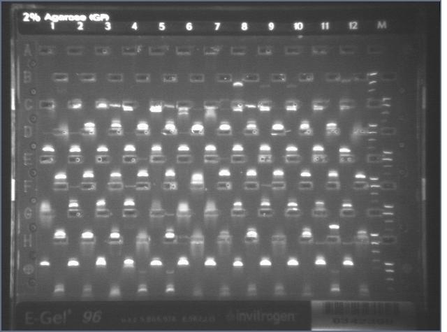 File:8-17 PCR gel 3.1 MXHTA.jpg