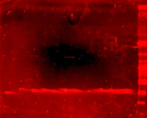 6-28-07 PT LppOmpA-PDZ membrane Scan5.jpg