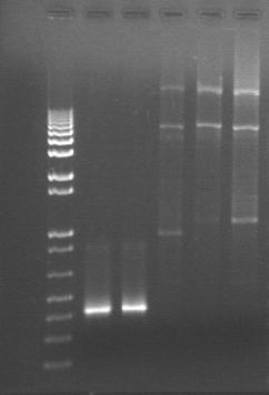 8-4 PCR gel PT.jpg