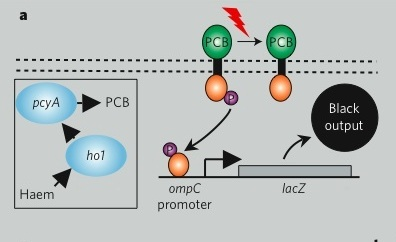 Genetic circuit for bacterial photography system, from Levskaya et al. Note that the promoter is on when phosphorylated, which happens in the dark. You don't need to understand all the details of how this promoter works today.