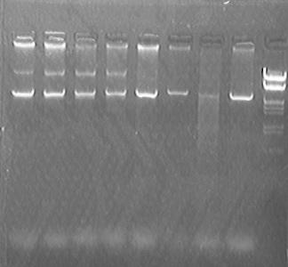 Image:PKU Switch 07-7-15 PLX007-lacZa plasmid single digestion test.jpg