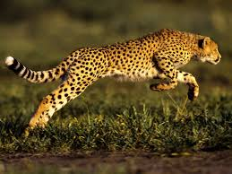 File:CheetahPicture.jpeg