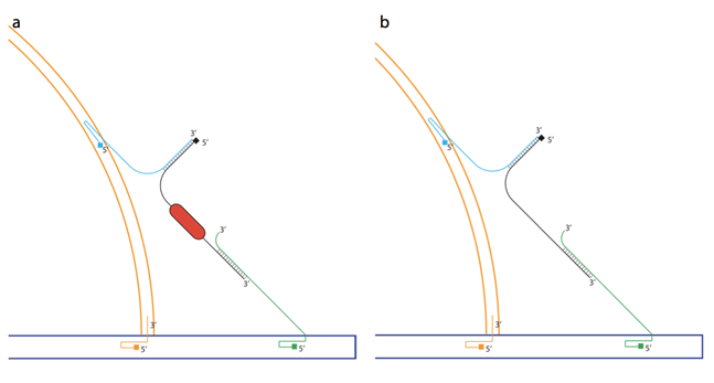 Figure 8. The peptide lock mechanism. A: The assembly of the peptide-lock and to the two DNA structures. The peptide lock is marked in red. B: The test system, held together by the WB-peptide lock instead of the real peptide lock.