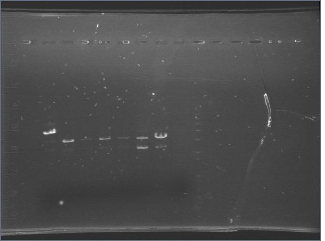 File:7182006 cyano digest gel-2.jpg
