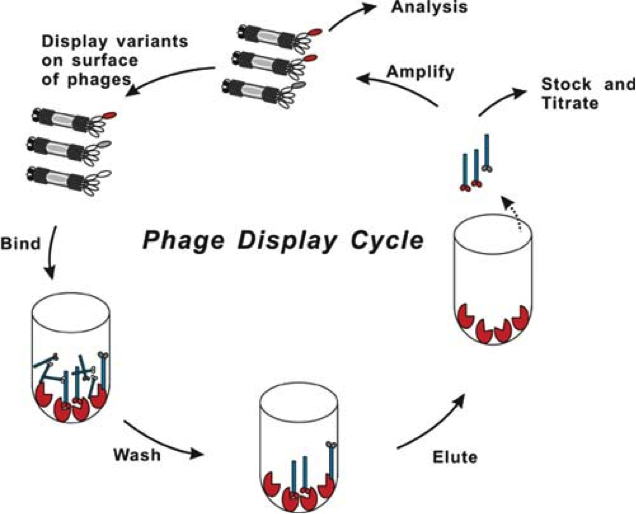 Image:Phage_display.png
