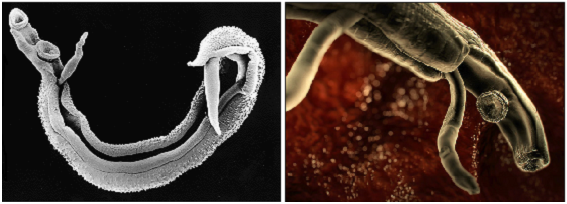 File:Schistosoma.png