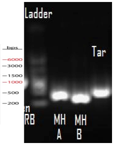 Image:Tar PCR product 2 17.png