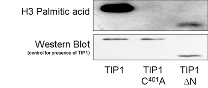 Fig 6. TIP1 and TIP1 ΔN are able to bind palmitic acid but TIP1C401 is not indicating that the DHHC domain but not the ankyrin repeats are required for S-acyl transferase activity.