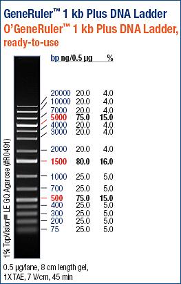 File:GeneRuler 1kB+ DNA ladder.jpg