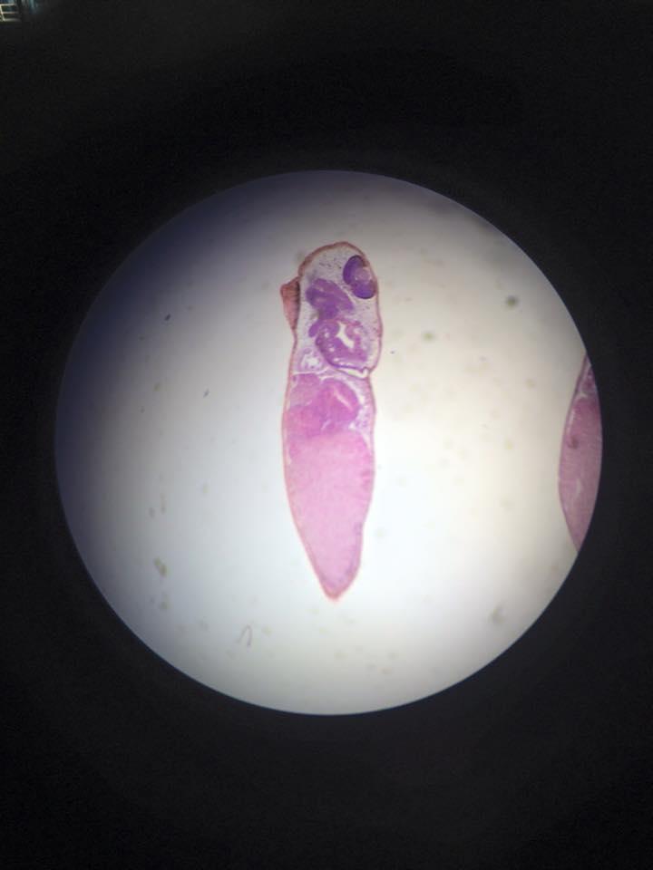 Frog embryo 2.jpg