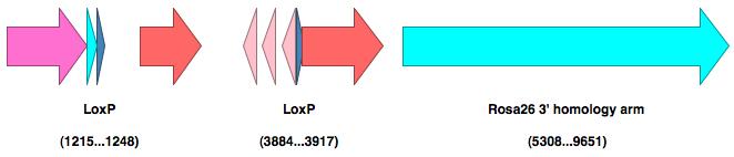 File:ApE linear diagram.png