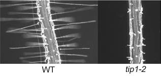 Fig 2. Loss of TIP1 leads to short branced root hairs indicating a role for TIP1 in polar growth