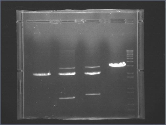 File:7-1 digest Biobrick Parts.jpg
